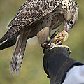 Coopers Hawk by Cindy Lindow