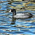 Coot In The Lake by Don Mann