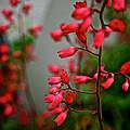 Coral Bells by Susan Herber