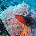 Coral Hind by Georgette Douwma