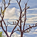Corella Tree by Douglas Barnard