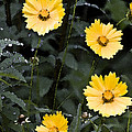 Coreopsis by Michael Friedman