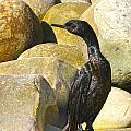 Cormorant 1 by Marie Morrisroe
