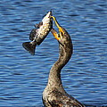 Cormorant Catches Catfish by Barbara Bowen