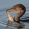 Cormorant With Large Fish by Dave Mills