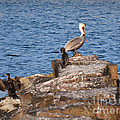 Cormorants And Pelican by Donna Brown