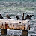 Cormorants Key West by Bill Cannon