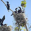 Cormorants Nesting by Diana Haronis