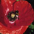 Corn Poppy Flower by Dirk Wiersma