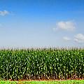 Corn Row by Kathy Clark