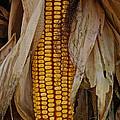 Corn Stalks by Susan Herber