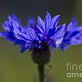 Cornflower Blue by Clare Bambers
