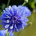 Cornflower Blue by Sharon Lisa Clarke