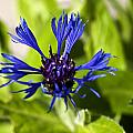 Cornflower by Steve Purnell