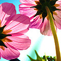 Cosmia Flower Twins by Sumit Mehndiratta