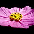 Cosmia Pink Flower by Sumit Mehndiratta