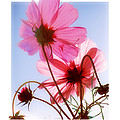Cosmos Flowers by Mal Bray