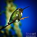Costa's Hummingbird by Robert Bales
