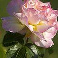 Cotton Candy Pink Peace Rose by Kathy Clark