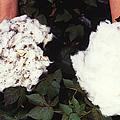 Cotton Comparison by Photo Researchers