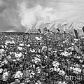 Cotton Field by Belinda Threeths