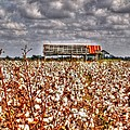 Cotton Field by Kevin Pugh