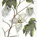 Cotton Plant, 1796 by Granger
