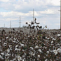 Cotton Ready For Harvest In Alabama by Kathy Clark