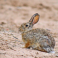 Cottontail Bunny by Roena King
