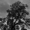 Cottonwood Silhouette by Amara Roberts