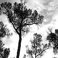 Cottonwood Silhouette Ser1 by Amara Roberts