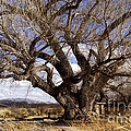 Cottonwood Tree At San Pedro House by Kathy McClure