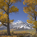 Cottonwood Trees Fall Foliage Carson by Tim Fitzharris