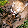 Cougar Mom Cleans Youngster by Larry Allan