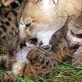 Cougar Mother Licks Kitten by Larry Allan