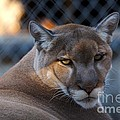 Cougar Portrait - Sad Eyes by Roy Williams