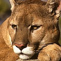 Cougar Relaxing. . . by Larry Allan