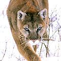 Cougar Stalks Through Snow by Larry Allan