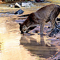 Cougar Stops For A Drink by Larry Allan