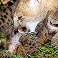 Couger Mom Cleans Kitten by Larry Allan