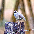 Country Quail by Steve McKinzie