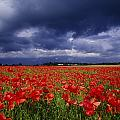 County Kildare, Ireland Poppy Field by Richard Cummins