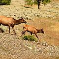 Cow And Calf Elk by Robert Bales