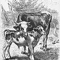 Cow And Calf by Granger