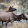 Cow Elk by Steve McKinzie