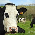 Cow Facing Camera by Gaspar Avila