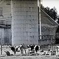 Cow Farm by Alana Ranney