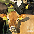 Cow by John Greim