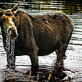 Cow Moose by Robert Bales
