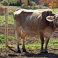 Cow Shadows by LeeAnn McLaneGoetz McLaneGoetzStudioLLCcom